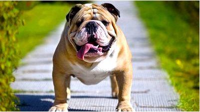 Английский Бульдог это очень крепкая, сбитая и коренастая собака из породы догообразных собак.
